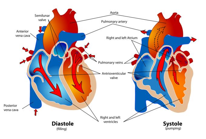 胸部レントゲンの心陰影の見方と拡大