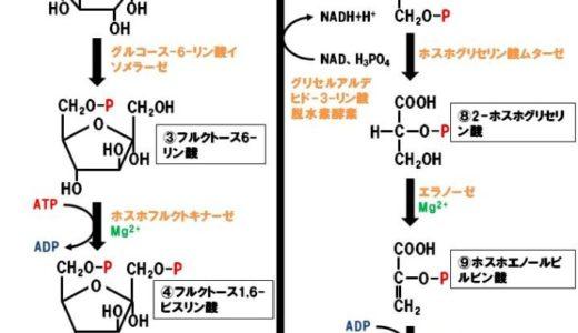 解糖系で必要な全10種類の酵素を図をつかって紹介します