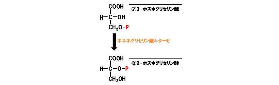 ホスホグリセリン酸ムターゼ(異性化酵素)