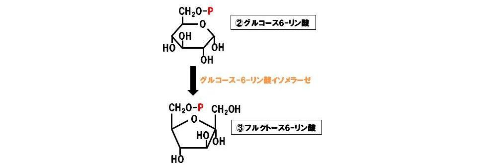 グルコース-6-リン酸イソメラーゼ(異性化酵素)
