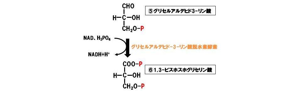 グリセルアルデヒド3-リン酸脱水素酵素(酸化還元酵素)