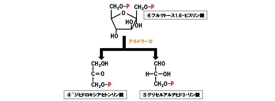 アルドラーゼ(除去付加酵素)