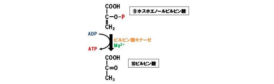 ピルビン酸キナーゼ(転移酵素)