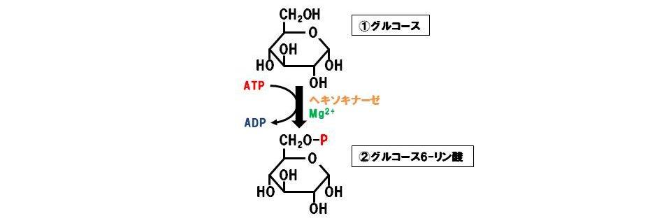 ヘキソキナーゼ(転移酵素)