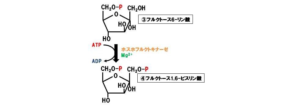 ホスホフルクトキナーゼ(転移酵素)