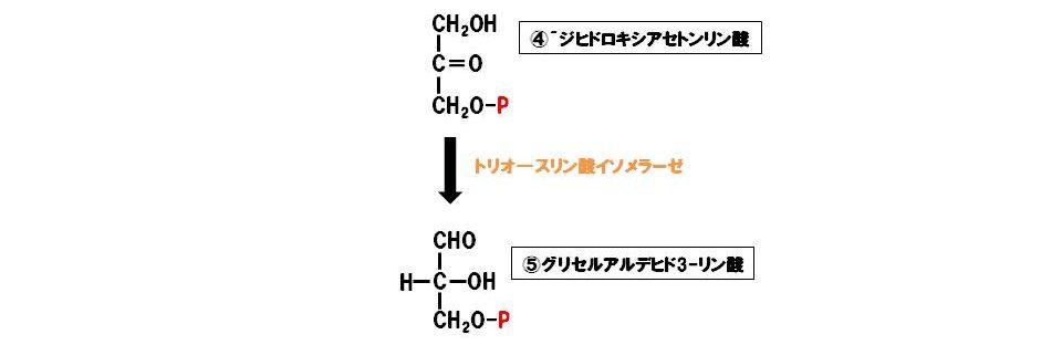 トリオ―スリン酸イソメラーゼ(異性化酵素)
