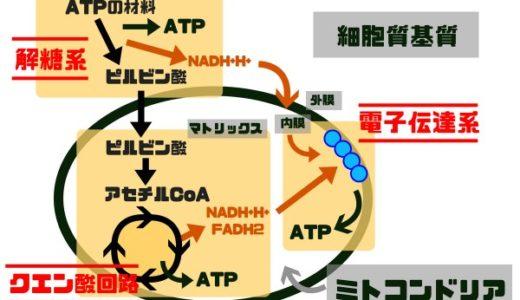 電子伝達系とはなに?図を多用してわかりやすく解説してみた