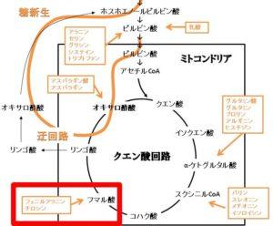 フェニルアラニン、チロシンの糖新生への反応経路