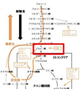 乳酸を材料にした糖新生の反応経路