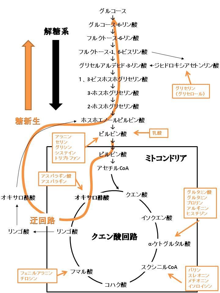 糖新生の反応経路