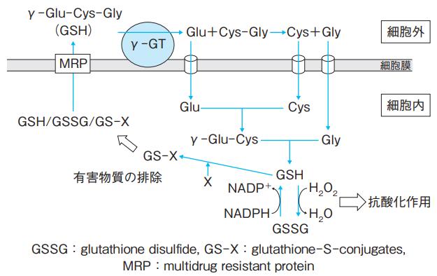 γ-GRPによるグルタチオン(GSH)の代謝