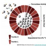 フェリチンの構造