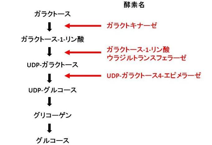 ガラクトースの代謝の過程・仕組み