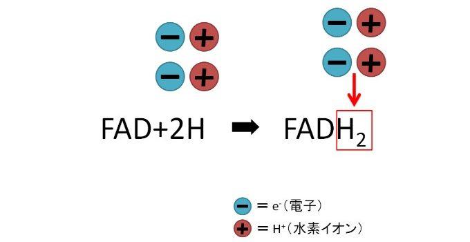 FADと電子、水素の反応式