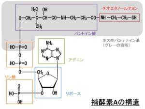 CaA(補酵素A)の構造