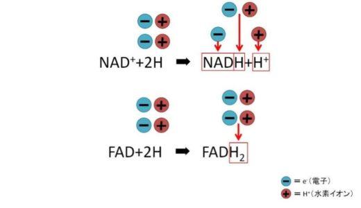 【NADとは?FADとは?】電子伝達体の役割についてわかりやすく解説してみた