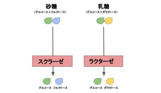 デンプン・砂糖・乳糖などの糖質の『消化→吸収→代謝』の仕組みと過程を解説