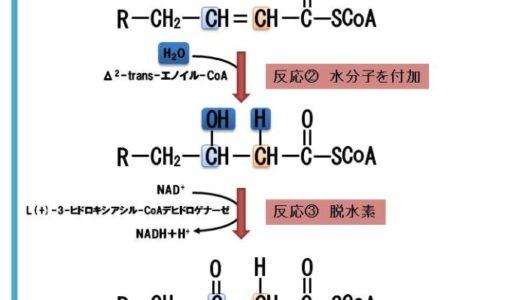脂肪酸のβ酸化の流れ一つずつ解説【パルミチン酸のβ酸化によるATP産生量も紹介します】
