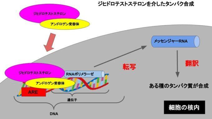 ジヒドロテストステロンの作用機序