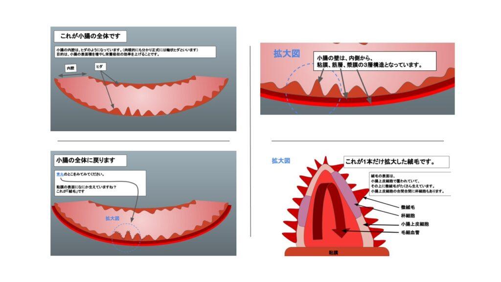小腸の絨毛と微絨毛の構造