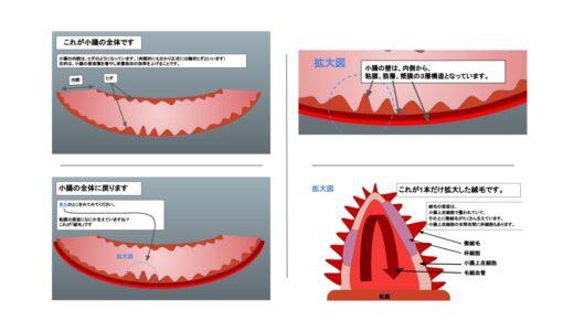 【簡単】小腸の絨毛と微絨毛の構造を解説してみた【図が多めです】