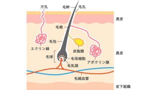 【図解】毛穴とは?断面図を使ってイラストでわかりやすく解説します
