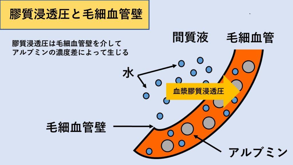 膠質浸透圧のイメージ図
