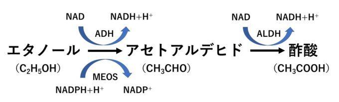 ADHとALDHによるエタノールの代謝