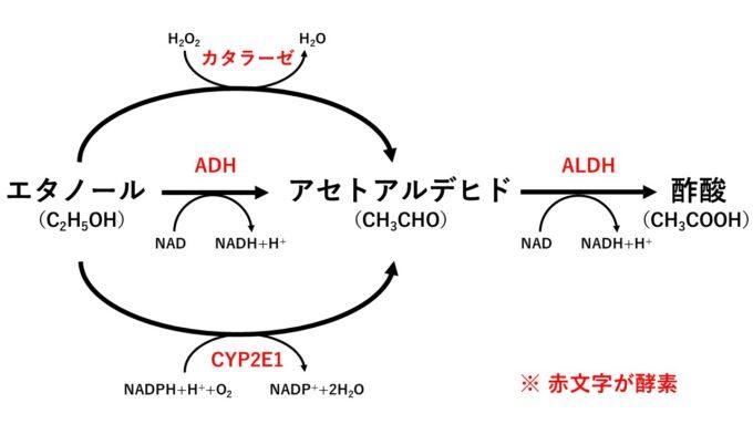 エタノールの代謝経路(ADH、ALDH、カタラーゼ、CEP2E1)