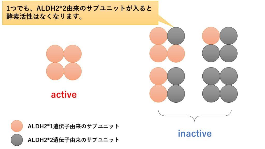 ALDH2(アルデヒド脱水素酵素2)のサブユニットの違いによるALDH2の活性の違い